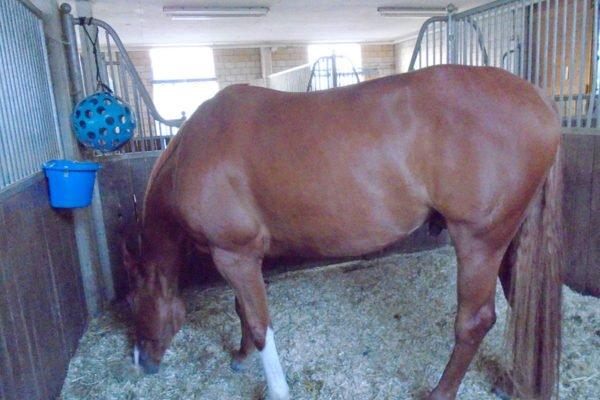 Asti, Pferd in der Box