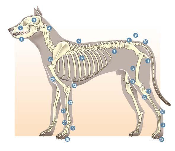 skelett hund